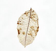 High key skeleton of a lemon leaf by Elana Bailey