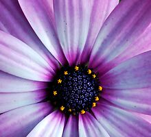 Purple Macro. by CourtneyE