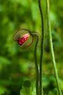 Bursting Poppy Bud by Renee Hubbard Fine Art Photography