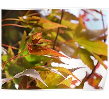 Autumnal Maple Leaves Poster