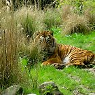 tiger @ ease by schaduwvacht