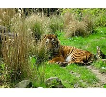 tiger @ ease Photographic Print