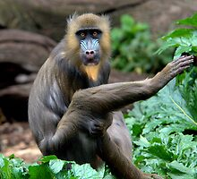 Mandrill at Melbourne Zoo by Tom Newman