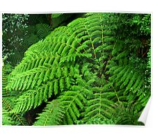 Ferns in Tara Bulga National Park. Poster