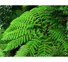 Ferns in Tara Bulga National Park. Photographic Print