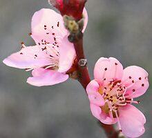 Peach Blossoms by Susan Brown