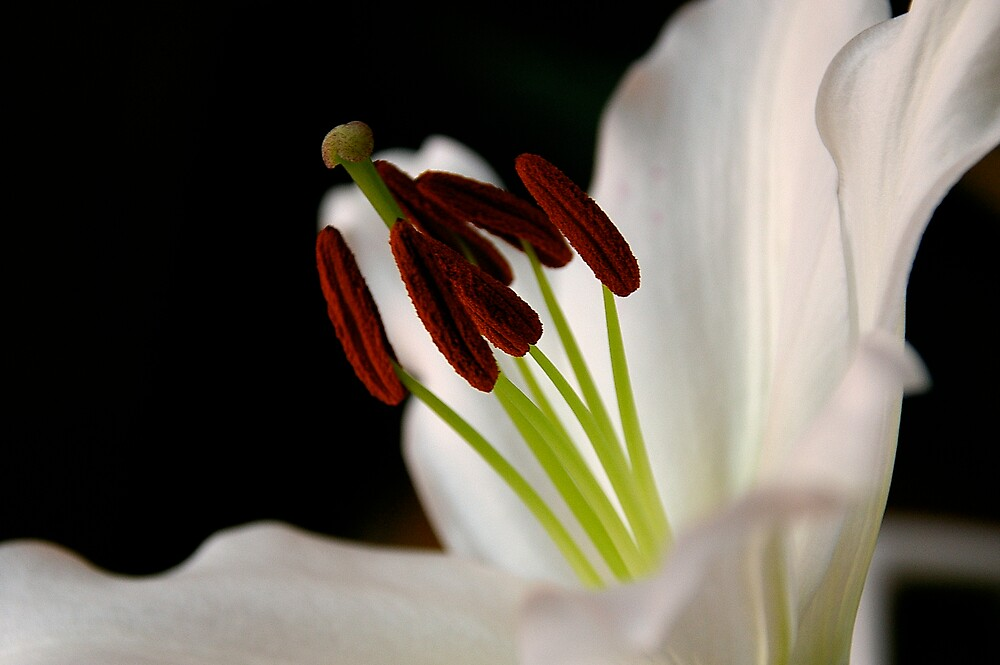 Lily by Susan Rees-Osborne