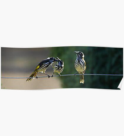 Australian birds Poster