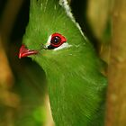Bird - Knysna Turaco by Corien