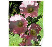Pink Holly Hocks Poster