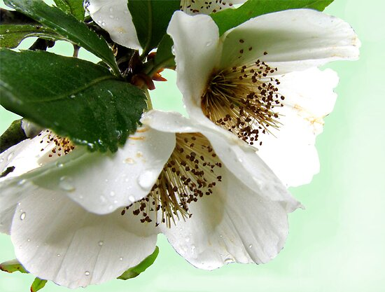 Eucryphia flowers by jacqi
