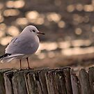 Seagull by Mark Waugh
