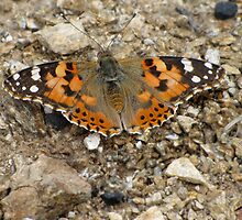 Painted Lady by jacqi