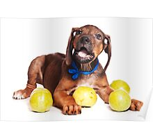 Funny red Ridgeback puppy Poster