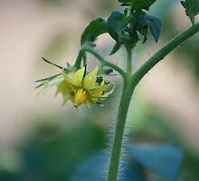 Tomato Blossom by sugerpie