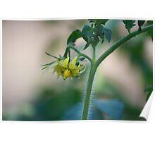 Tomato Blossom Poster