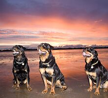 Julzez Rottweilers  by ss1design