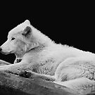 White Arctic Wolf by Ellen Cotton