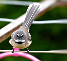 I'm Ogling YOU! - Fantail - NZ by AndreaEL