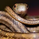 snake eyes by Ted Petrovits