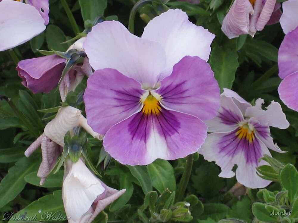 Lavander and White Pansy by plunder