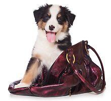 Bern Shepherd puppy and a bag by utekhina