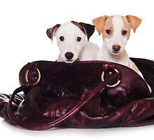 Two Jack Russell terrier puppy in a bag by utekhina