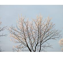 Winter's Frosty Golden Tree Photographic Print