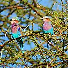 Samburu Birds by Brendan Buckley