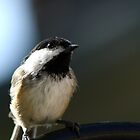 Black-capped Chickadee by Erika Rathka