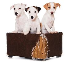 Three Jack Russell Terrier puppy and an old box by utekhina