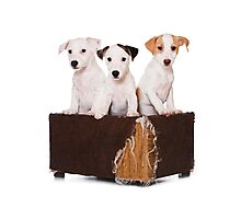 Three Jack Russell Terrier puppy and an old box Photographic Print