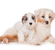 Two Australian Shepherd puppy by utekhina