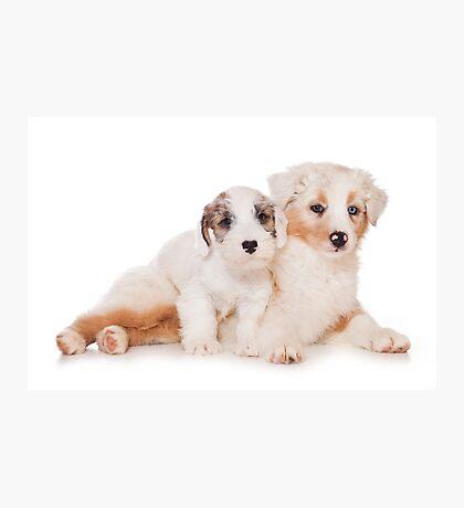 Two Australian Shepherd puppy Photographic Print