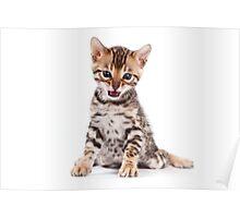 Funny kitten Bengal Poster