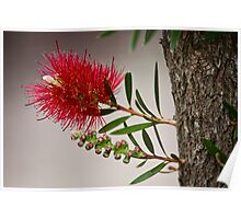 the bottlebrush Poster