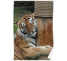 Cuddly Tiger Poster
