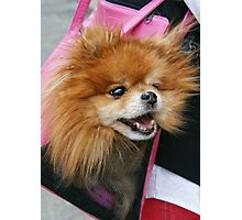 Pooch In A Purse Photographic Print