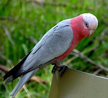 Galah at Healesville Sanctuary by Tom Newman