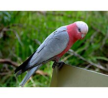 Galah at Healesville Sanctuary Photographic Print