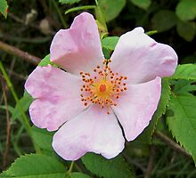 Wild Rose by jacqi