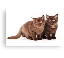 Two brown fluffy kitten Canvas Print