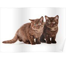 Two brown fluffy kitten Poster