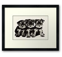 Three Yorkshire terrier puppy Framed Print