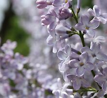 Blossoming lilac. A branch of lilac in the garden. May Flowers by HelgaScand