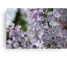 Blossoming lilac. A branch of lilac in the garden. May Flowers Canvas Print
