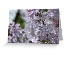 Blossoming lilac. A branch of lilac in the garden. May Flowers Greeting Card