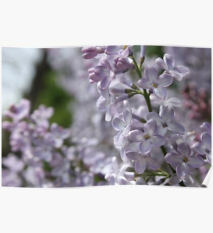 Blossoming lilac. A branch of lilac in the garden. May Flowers Poster