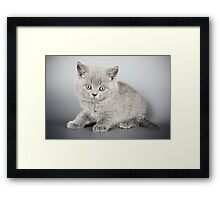 Gray fluffy kitten  Framed Print