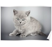 Gray fluffy kitten  Poster